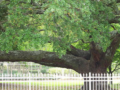 Photograph - Old Oak by Kevin Croitz