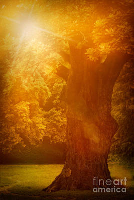 Old Oak Tree Art Print by Mythja  Photography