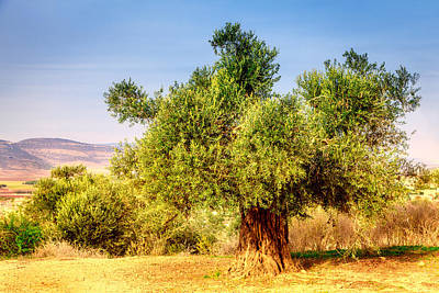Old Olive Tree Art Print by Alexey Stiop