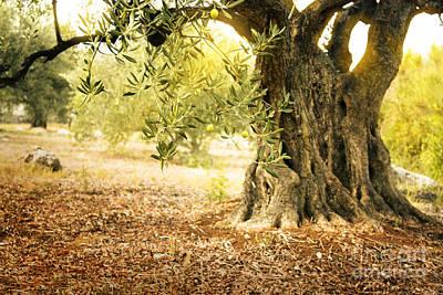 Old Olive Tree Art Print by Mythja  Photography