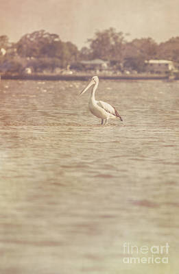 Old Pelican Photograph Art Print