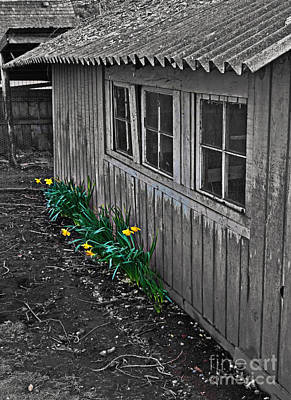 Photograph - Old Rustic Chicken Coop With Daffodils Emphasized Art Prints by Valerie Garner