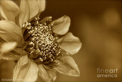 Photograph - Old School Dahlia by Susan Herber