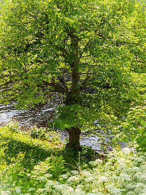 Old Small Leaved Lime At The Riverbank In Oravi Art Print