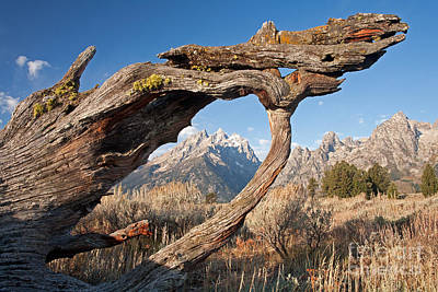 Photograph - Old Stump Grand Teton National Park by Fred Stearns