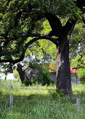 Photograph - Old Texas Oak Tree by Connie Fox