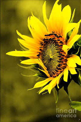 Photograph - Old Time Sunflower by Sandra Clark