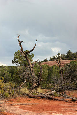 Photograph - Old Tree 2 Colorado National Monument by Mary Bedy