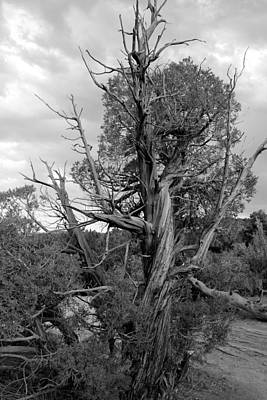 Photograph - Old Tree 3 Colorado National Monument Bw by Mary Bedy