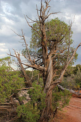 Photograph - Old Tree 3 Colorado National Monument by Mary Bedy
