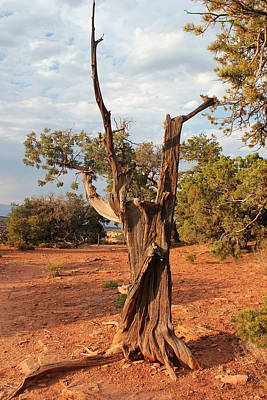Photograph - Old Tree 5 Colorado National Monument by Mary Bedy