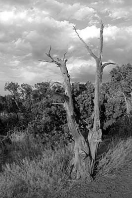 Photograph - Old Tree 6 Colorado National Monument Bw by Mary Bedy