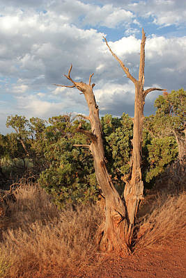 Photograph - Old Tree 6 Colorado National Monument by Mary Bedy