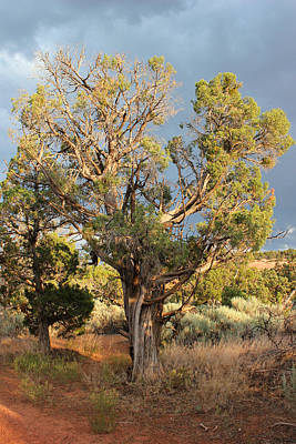 Photograph - Old Tree 7 Colorado National Monument by Mary Bedy