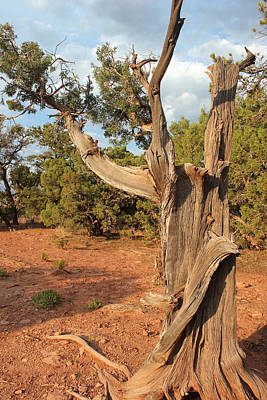 Photograph - Old Tree 8 Colorado National Monument by Mary Bedy