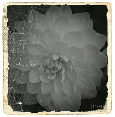 Mixed Media - Old White Dahlia Bw 1 by Chalet Roome-Rigdon