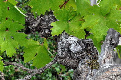 Knobbly Photograph - Old Zinfandel Grape Vine by Tanya  Searcy