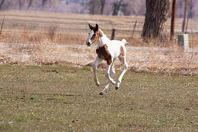 Oldenburg Photograph - Oldenburg Filly With Four Feet by Piperanne Worcester