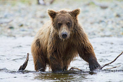 Photograph - Older Brown Bear Cub In Water by Dan Friend