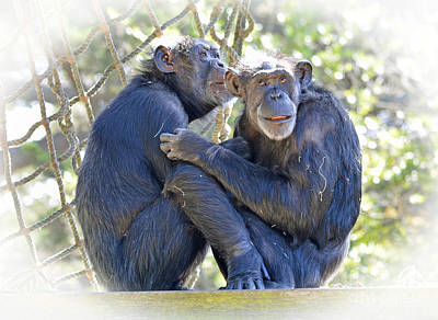 Olderly Chimpanzees Embracing Fade To White Version Art Print by Jim Fitzpatrick