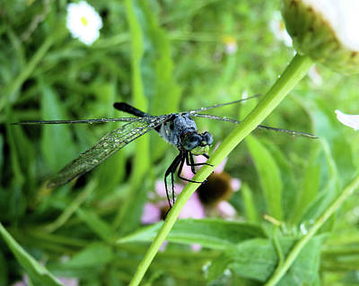 Dragonfly. Dragon Fly Photograph - Ole Blue Eyes by JC Findley