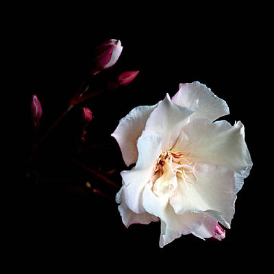 Photograph - Oleander by Brad Grove