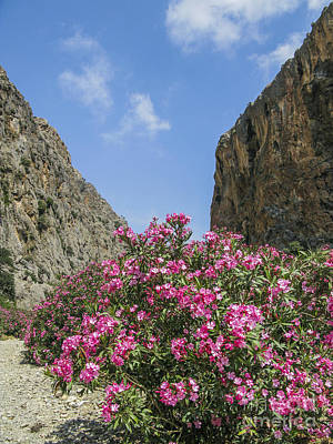 Photograph - Oleander Bush In Greek Gorge by Patricia Hofmeester