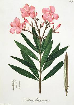 Oleander From 'phytographie Medicale' By Joseph Roques  Art Print by L F J Hoquart