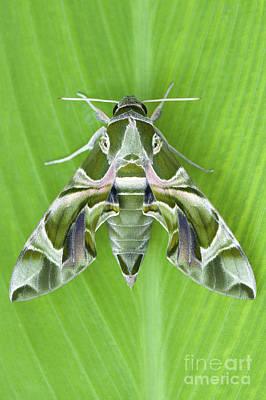 Oleander Photograph - Oleander Hawk Moth by Tim Gainey