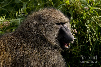 Olive Baboon   #0685 Art Print by J L Woody Wooden