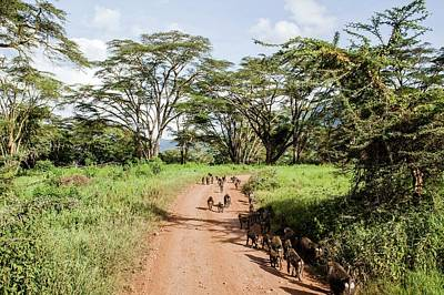 Path In Life Photograph - Olive Baboon Papio Anubis Herd by Photostock-israel
