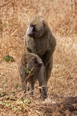 Portraits Photograph - Olive Baboons Papio Anubis by Photostock-israel