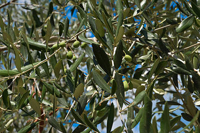 Photograph - Olive Branch by Dany Lison