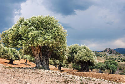 Olive Grove Art Print by Mike Santis