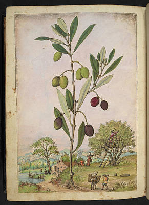 Olive (olea Europaea) Art Print by British Library