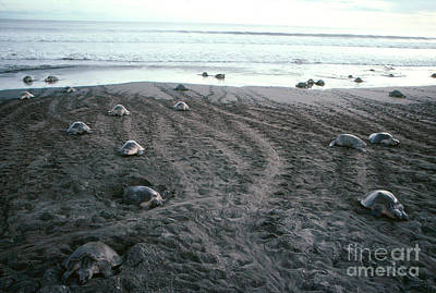 Chelonian Photograph - Olive Ridley Turtles by Gregory G. Dimijian, M.D.