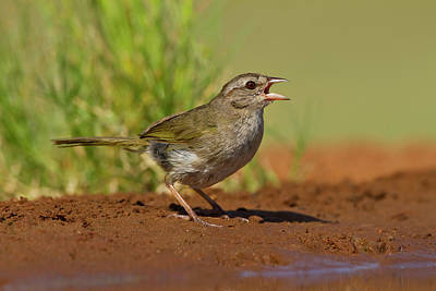 Panting Photograph - Olive Sparrow (arremonops Rufivirgatus by Larry Ditto