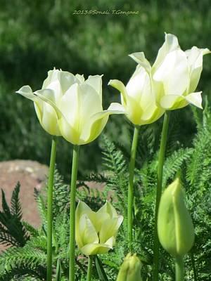 Tulip Mania Photograph - Olive Tinged White Tulips by Sonali Gangane