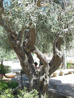 Photograph - Olive Tree At The Tomb Of The Patriarchs by Esther Newman-Cohen