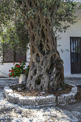Photograph - Olive Tree - Corfu by Alan Toepfer