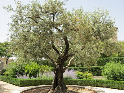 Olive Tree Art Print by Pema Hou