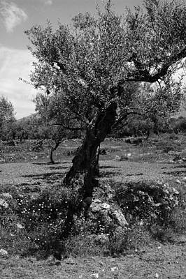 Photograph - Olive Tree  by Randi Grace Nilsberg