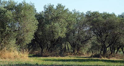 Photograph - Olive Trees Of Provence by Carla Parris