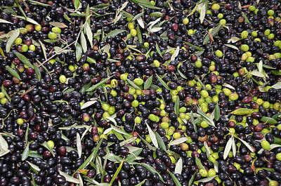 Photograph - Olives Harvest by Dany Lison
