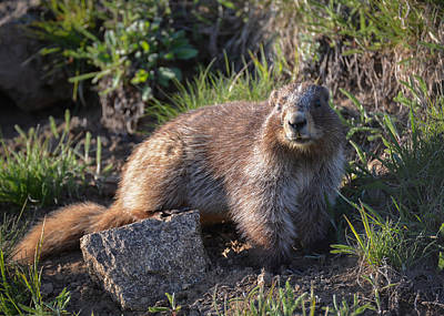 Photograph - Olympic Marmot by Ronda Broatch