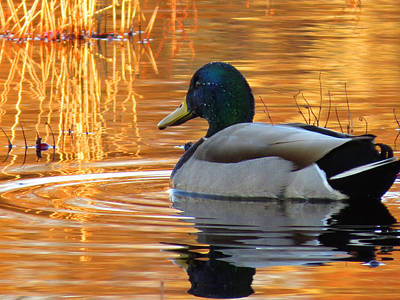 On Golden Pond Art Print by Dianne Cowen