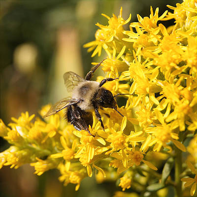 Photograph - On Golden Rod by Bill Pevlor