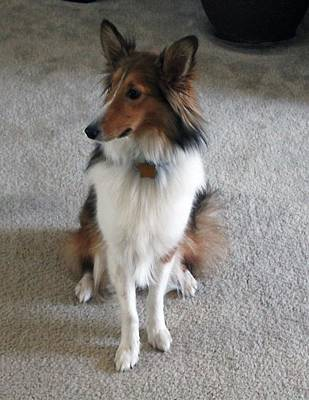 Miniature Collie Photograph - On Guard by Connie Diane Richards