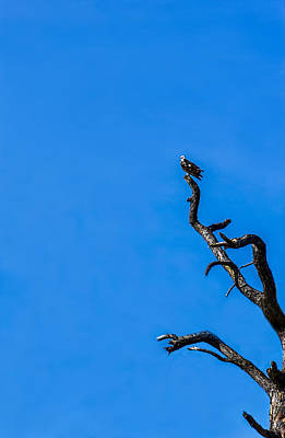 Osprey Photograph - On Point by Marvin Spates