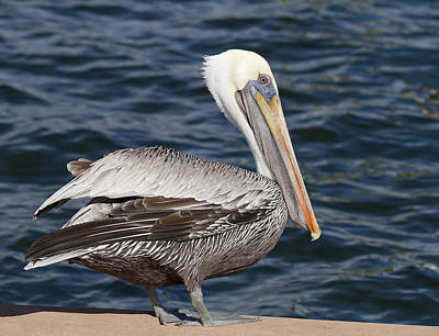 Photograph - On The Edge - Brown Pelican by Kim Hojnacki